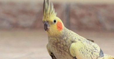 """Corte de asas e """"pisões"""" são as principais causas de emergência para aves pet"""