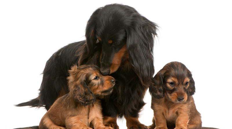 cadelas e seus filhotes